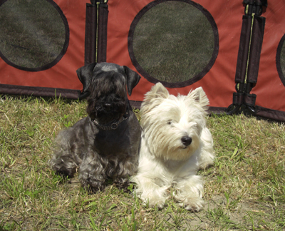 "Cesky Terrier "" Pucci"" & West Highland Terrier ""Take"""